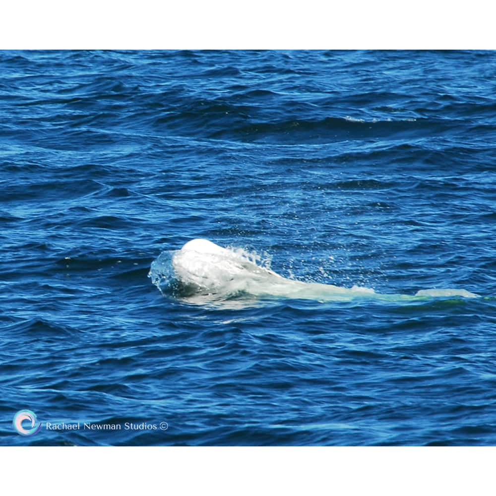 Baby Beluga by Rachael Newman