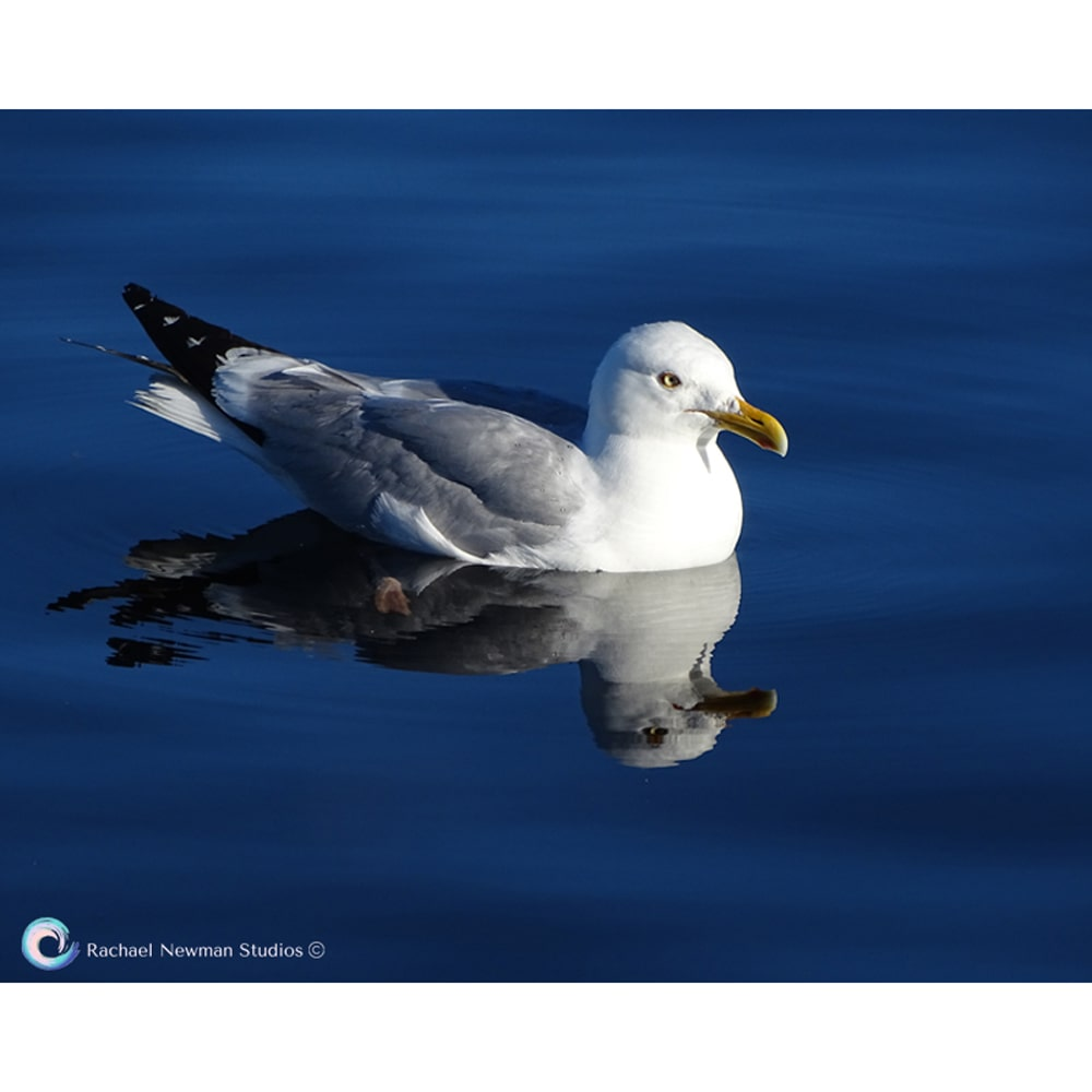 Superior Gull by Rachael Newman